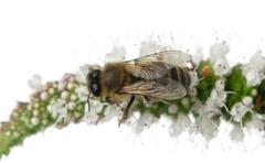 Female worker bee, Anthophora plumipes, on plant in front of white background - stock photo