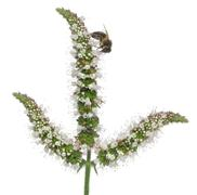 Female worker bee, Anthophora plumipes, on plant in front of white background Stock Photos