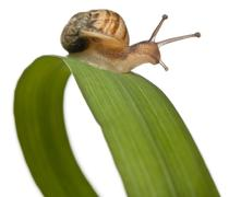 Garden snail on leaf, Helix aspersa, in front of white background - stock photo
