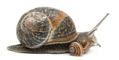 Garden snail with its baby in front of white background Stock Photos