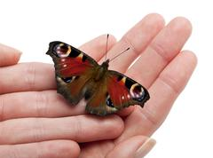 European Peacock moth, Inachis io, on a hand in front of white background - stock photo