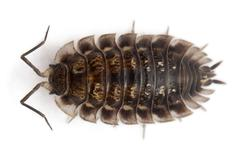 High angle view of Common woodlouse, Oniscus asellus, in front of white backgrou Stock Photos