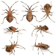 Dock bugs, Coreus marginatus, species of squash bug, in front of white backgroun - stock photo