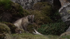 Arctic Fox Puppies Playing in Rocks - stock footage
