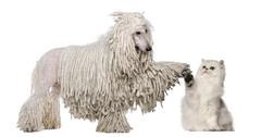 White Corded Standard Poodle and Persian high fiving against white background Stock Photos