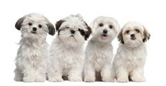 Group of Shih Tzu and Maltese puppy sitting and looking at camera against white  Stock Photos