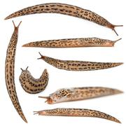 Leopard slug - Limax maximus, in front of white background - stock photo