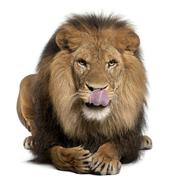 Lion licking lips, Panthera leo, 8 years old, in front of white background - stock photo