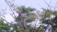 Pair of Sooty-headed Bulbul relax on the tree Stock Footage