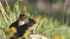 Two Ground Squirrels Watch for Danger Stock Footage