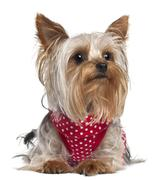 Yorkshire Terrier wearing red and white polka dots, 1 year old, lying in front o - stock photo