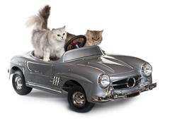 Persian cat, 1 year old, and Norwegian Forest Cat, 5 years old, driving converti Kuvituskuvat