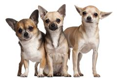 Three Chihuahuas, 6 months old, 3 years old, and 2 years old, in front of white  - stock photo
