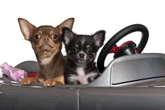 Chihuahuas, 7 and 3 months old, sitting in convertible in front of white backgro Stock Photos