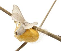 Domesticated Silkmoth next to own cocoon, Bombyx mori, laying eggs against white - stock photo