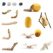 Complete evolution of silkworm, Bombyx mori, against white background - stock photo