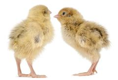 Two Japanese Quail, also known as Coturnix Quail, Coturnix japonica, 3 days old, - stock photo