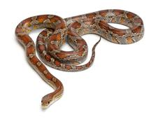Miami Corn Snake or Red Rat Snake, Pantherophis guttatus, in front of white back - stock photo