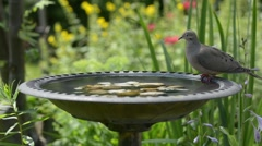 Bird bath dove drinking Stock Footage