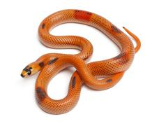Stock Photo of Tricolor Patternless Honduran milk snake, Lampropeltis triangulum hondurensis, i