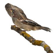 Male and Female House Sparrows, Passer domesticus, 4 months old, in front of whi - stock photo
