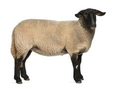 Female Suffolk sheep, Ovis aries, 2 years old, standing in front of white backgr - stock photo