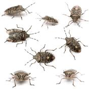 Composition of European stink bugs, Rhaphigaster nebulosa, in front of white bac - stock photo