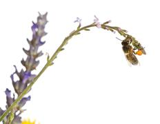 Western honey bee or European honey bee, Apis mellifera, carrying pollen in fron - stock photo