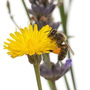 Western honey bee or European honey bee, Apis mellifera, carrying pollen, on flo - stock photo