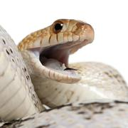 Pacific gopher snake also known as Coast gopher snake, western gopher snake, Pit - stock photo