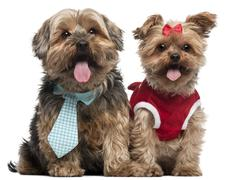 Yorkshire Terriers dressed up, 4 and a half and 7 years old, sitting in front of Stock Photos