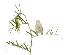 Green-veined White, Pieris napi, on plant in front of white background Stock Photos