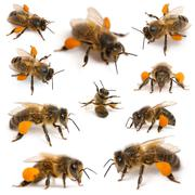 Composition of Western honey bees or European honey bees, Apis mellifera, carryi - stock photo