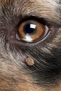 Close-up of Tick attached next to an Australian Shepherd's eye - stock photo