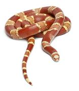 Albino Tangerine selection Honduran milk snake, Lampropeltis triangulum honduren Stock Photos
