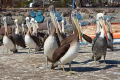 Pelicans on the Dockside Stock Photos