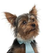 Stock Photo of Close-up of Yorkshire Terrier wearing tie, 7 months old, in front of white backg