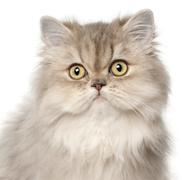 Persian cat, in front of white background Kuvituskuvat
