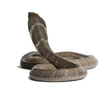 King cobra - Ophiophagus hannah, poisonous, white background Stock Photos