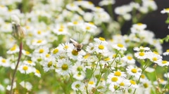 Wild chamomile and insects ,field,macro Slow Motion Stock Footage