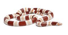 Albino Tangerine Honduran milk snake, Lampropeltis triangulum hondurensis, in fr - stock photo