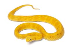 Yellow Eyelash Viper - Bothriechis schlegelii, poisonous, white background - stock photo