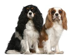 Cavalier King Charles Spaniels, 2 and 3 years old, sitting in front of white bac - stock photo