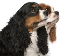 Close-up of Cavalier King Charles Spaniels, 2 and 3 years old, in front of white - stock photo