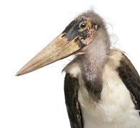Marabou Stork, Leptoptilos crumeniferus, 1 year old, in front of white backgroun Stock Photos