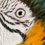 Portrait of Blue and Yellow Macaw, Ara Ararauna, eye - stock photo
