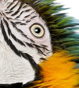 Close up of Blue and Yellow Macaw, Ara Ararauna, eye - stock photo