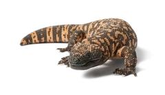 Gila monster - Heloderma suspectum, poisonous, white background - stock photo