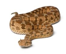Saharan horned viper - Cerastes cerastes, poisonous, white background Stock Photos