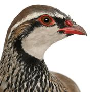 Close up of Red-legged Partridge or French Partridge, Alectoris rufa, a game bir Stock Photos